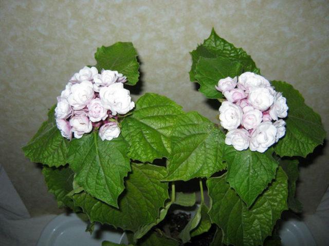 Клеродендрум или дерево судьбы: какая легенда с ним связана, что это за комнатное растение, какую приносит пользу, а также нюансы ухода и фото домашнего цветка