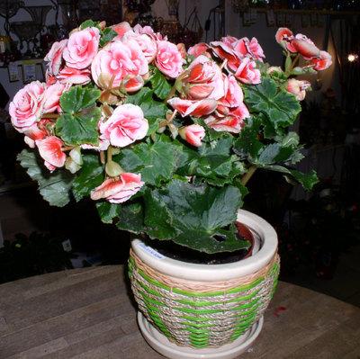 Бегония воротничковая: рассмотрим фото этого замечательного цветка, болезни и особенности размножения, также всё об уходе в домашних условиях