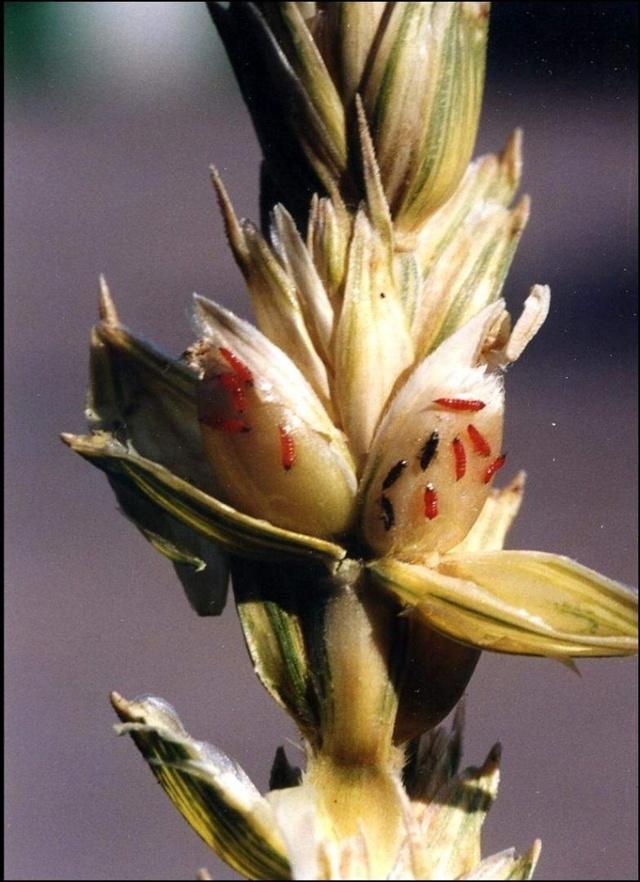 Западный цветочный трипс: описание и фото калифорнийского вредителя, а также пшеничный, луковый, табачный и другие виды отряда насекомых