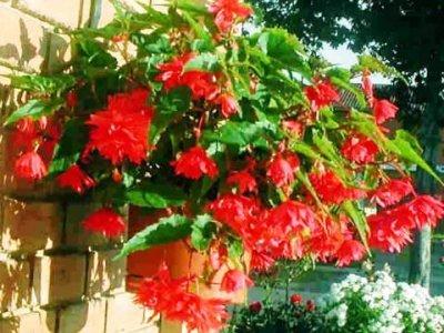 Бегония ампельная: посадка и уход в домашних условиях и в открытом грунте, особенности выращивания этого клубневого цветка, а также много фото
