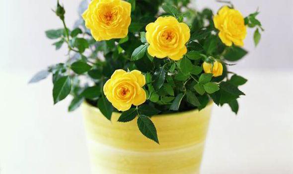 Как пересадить комнатную розу из одного горшка в другой: обязательно ли делать это после покупки, а также как правильно ухаживать за растением в домашних условиях?