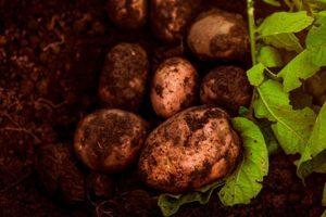 Зимняя черная редька: когда сажать, как сеять, в какое время созревает, а также все нюансы посадки и ухода за круглым овощем, описание и похожие разновидности