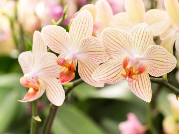 Детки орхидеи фаленопсис на цветоносе, стволе и прикорневой части: как отсадить от материнского растения в домашних условиях – расскажем пошагово, покажем фото