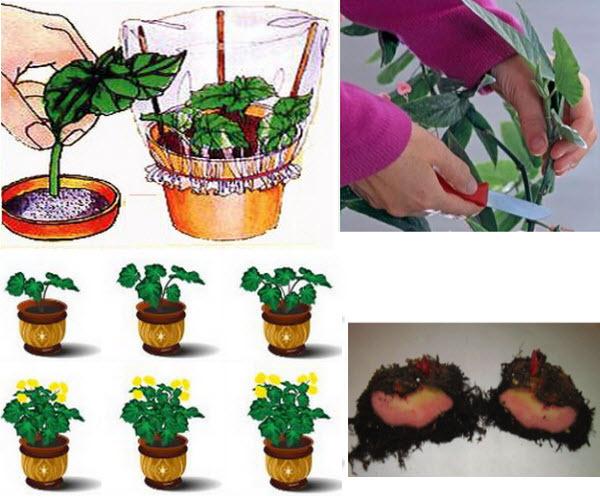 Бегония клубневая: уход в домашних условиях, рекомендации о том, чем подкармливать, а также фото растения