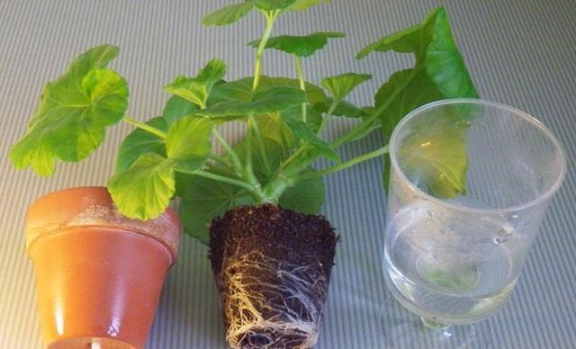Цветет герань: как и когда это происходит в домашних условиях, какой нужен полив и можно ли опрыскивать во время этого, а также фото растения