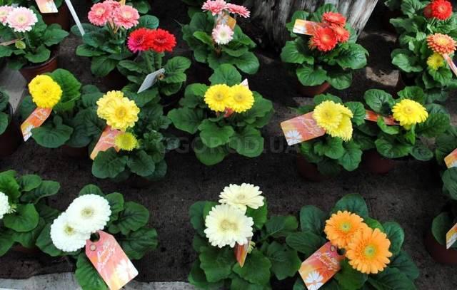 Оранжевые герберы: фото цветов, как за ними ухаживать и защищать от болезней?