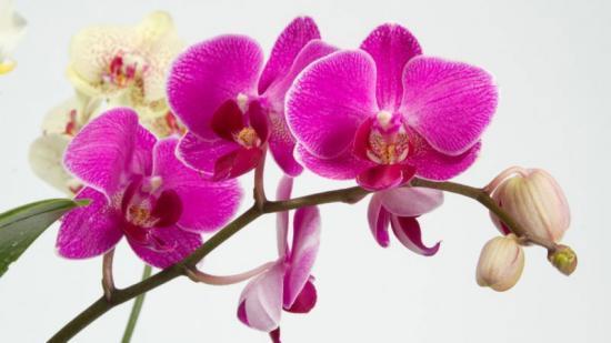 Оранжевая орхидея: описание и фото сортов растения, а также рекомендации по уходу за цветком