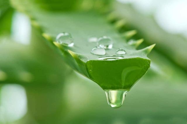 Алоэ для кожи: какими лечебными свойствами обладает сок, как растение вытягивает гной, а также как приготовить настой против грибка ногтей на ногах и других недугов?