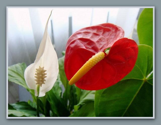 Спатифиллум: семена и саженцы растения и как их правильно сажать в горшок, уход за цветком в домашних условиях, а также, где его лучше поставить дома