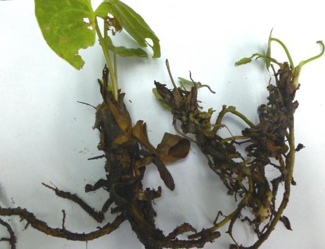 Антуриум розовый: фото и описание сортов, история появления растения, уход в домашних условиях, вредители и болезни, а также есть ли похожие цветы