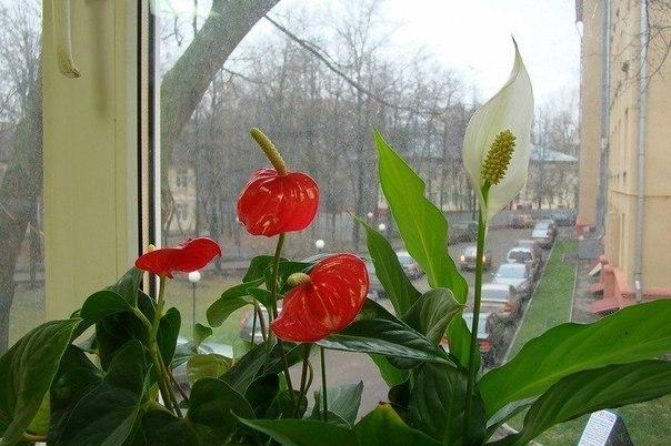 Антуриум (anthurium): как выглядит и почему называется «мужское счастье», описание и фото, уход за комнатным растением в горшке в домашних условиях и похожие цветы