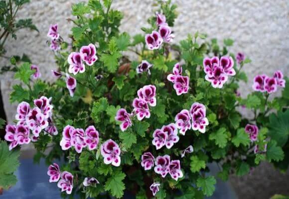Герань душистая: что это такое, цветет или нет, особенности содержания и размножения в домашних условиях, а также фото этого растения