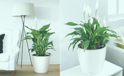 Уход в домашних условиях за спатифиллумом: как правильно содержать комнатный цветок