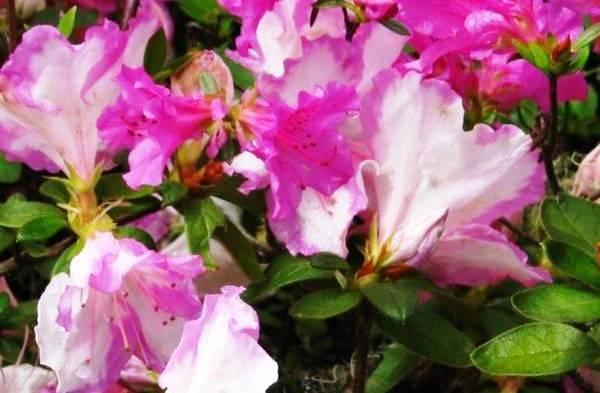 Почему вянет азалия в горшке: каковы основные причины, а также рекомендации, что делать, если поникли цветы и растение сбрасывает листья?