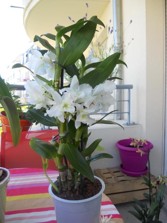 Пересадка орхидеи дендробиум в домашних условиях: фото и инструкция, когда и как проводить этот процесс для гибрида нобиле, в том числе черенками и делением куста