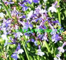 Лобелия: посадка, уход и фото цветка, особенности выращивания черенкованием и зимовки в домашних условиях, а также когда сеять семена и через сколько они всходят?