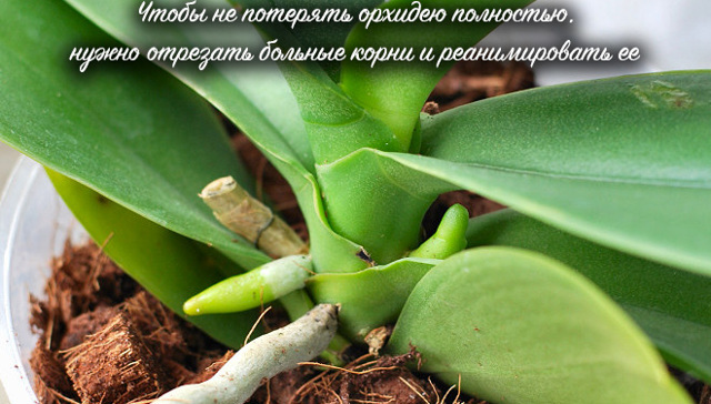 Как нарастить корни у орхидеи фаленопсис: когда необходимо начать реанимацию, чтобы спасти растение с помощью воды или теплицы, и дальнейший уход за цветком
