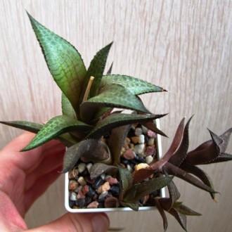 Как выпрямить кактус: почему растение вытягивается вверх или наклоняется в одну сторону и что делать в таких случаях?