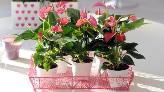 Грунт для антуриума: какая нужна земля, чтобы сажать цветок Мужское счастье, подойдет ли готовый состав, а также как сделать почву своими руками в домашних условиях?