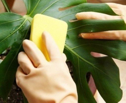 Белокрылка на комнатных цветах: как избавиться, чем бороться чтобы вывести с растений, фото, методы и средства, таких как Теппеки, препарат Танрек от тли, Аплауд