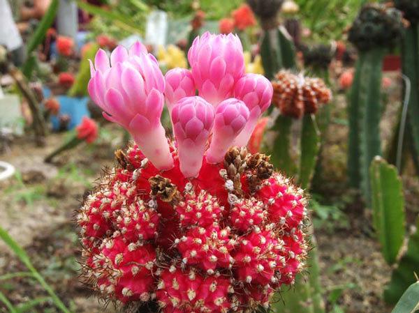 Комнатное растение гимнокалициум Рубра, а также описание других видов кактуса: Аниситси, Бруха (bruchii), armatum, Фридриха (friedrichii), bodenbenderianum и прочих