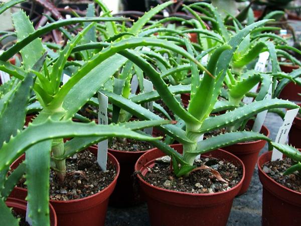 Столетник или алоэ древовидное: фото комнатного растения и описание, что это такое, как выглядит, как определить возраст цветка, а также как за ним ухаживать
