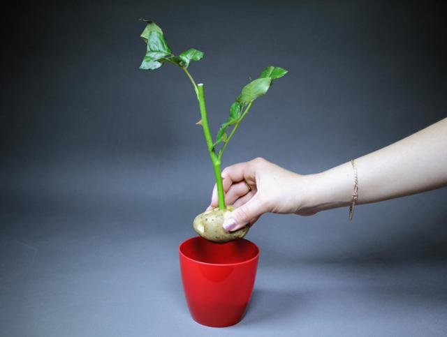 Как вырастить розу из черенка купленного или подаренного букета: можно ли посадить цветок срезанный зимой и осенью, что делать, чтобы пустил корни и дал побег?