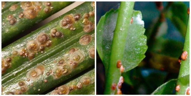 Вредители лимона комнатного: их описание и фото, причины появления, лечение растения от щитовок, а также борьба с другими видами в домашних условиях