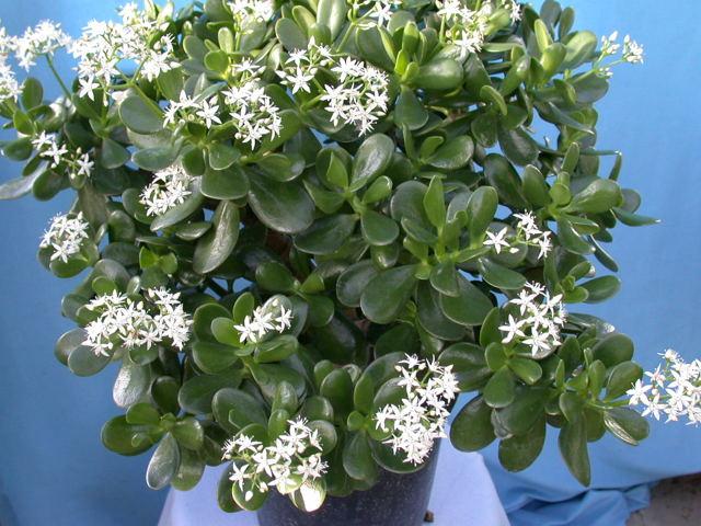 Как вырастить денежное дерево из листочка: как посадить толстянку в домашних условиях в воде, как крассулу укоренить в грунте, в чем особенности размножения цветка?