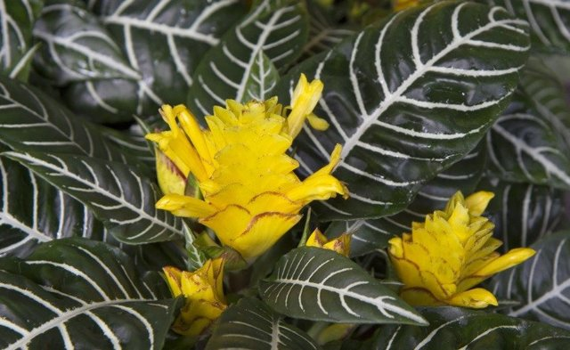 Афеландра: уход в домашних условиях, фото цветка, особенности роста вида Скуарросы, какой покупной грунт подойдет и каким болезням и вредителям подвержено растение?