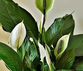 Цветок Женское счастье: что такое комнатный Спатифиллум, фото и описание видов, все об уходе в домашних условиях, похожие на него растения, а также что он любит