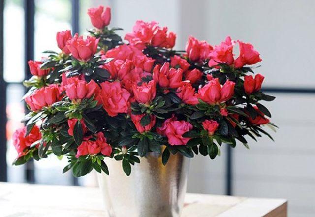 Азалия белая: сорта этого комнатного растения семейства рододендронов с описаниями и фото, а также нюансы ухода за цветком в домашних условиях