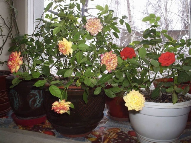 Как реанимировать азалию, если она засохла: можно ли спасти, почему увядает и что делать, чтобы оживить и сохранить в домашних условиях, а также фото цветка в горшке
