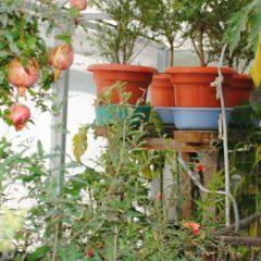 Как растёт гранат в домашних условиях и в природе: фото и описание, а также данные о том, сколько весит один плод без кожуры и советы по уходу