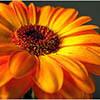 Желтые герберы: описание внешнего вида, правила ухода, а также фото растения