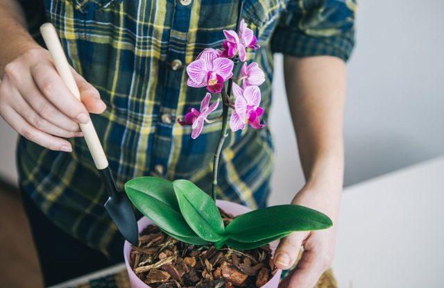 Нужно ли обрезать цветонос после цветения орхидеи: что это за процедура, а также как можно удалить стрелки и стебель и как поступить со стволом?