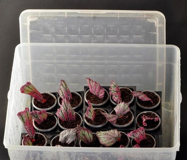 Как вырастить бегонию в домашних условиях: способы размножения и как правильно развести комнатное растение,  а также особенности ухода за цветком