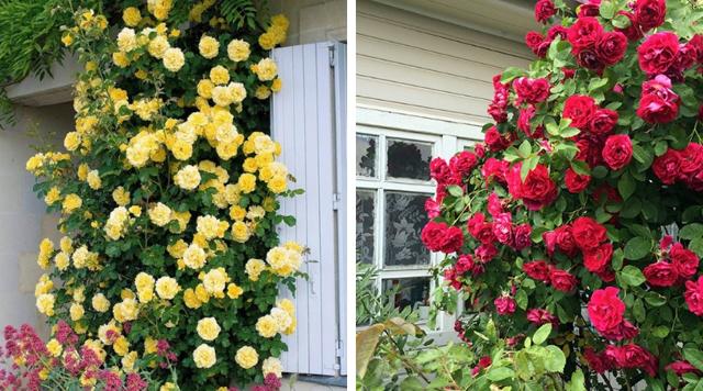 Вьющиеся розы: описание и фото сорта Чаплин Пинкс (Розовый) и зимостойких, цветущих все лето, в чем отличие от плетистых видов, как провести обрезку весной и осенью?
