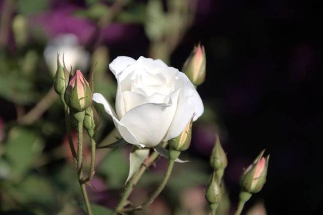 Описание, фото сортов розы Флорибунда и видов с названиями: Стромболи, Артур Белл, Кристалл, Квин Элизабет, Румба, Кимоно, Фрезия, Дойче Велле, Гейша и других