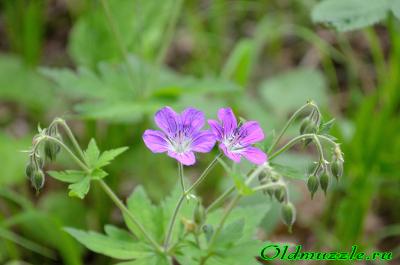 Герань лесная: ботаническое описание семейства и самого растения, отличия от лугового журавельника, а также фото того, как выглядит цветок