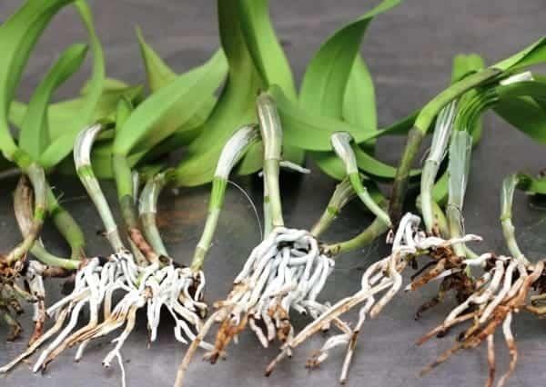 Орхидея Каттлея: описание внешнего вида с фото, правила содержания и ухода в домашних условиях, размножение, профилактика болезней, борьба с вредителями