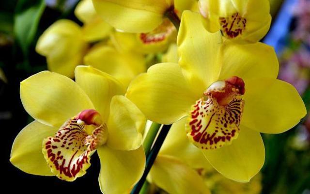 Желтая орхидея: лимонный сорт цветов, правила ухода, борьба с основными видами вредителей и фото растения в крапинку и без