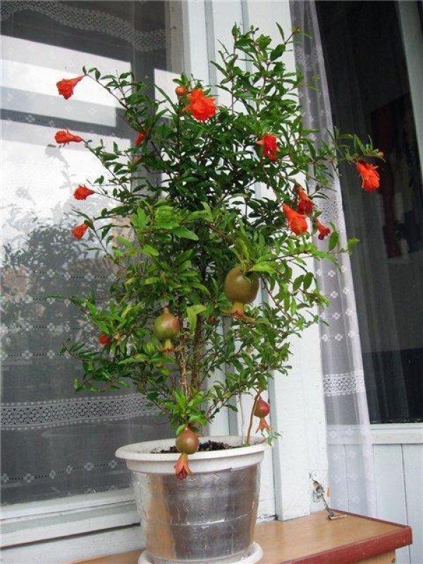 Комнатный гранат Бейби: ботаническое описание, выращивание в виде бонсай, уход в домашних условиях, а также болезни и особенности размножения семенами и черенками