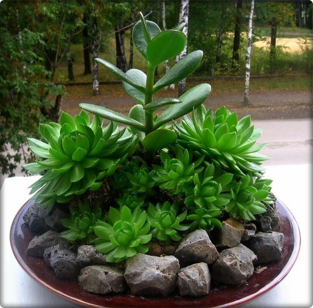 Каменная роза: фото цветка, уход в домашних условиях, в частности, как поливать молодило, какой растению нужен свет, как бороться с болезнями и другие советы