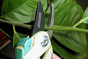 Лимон Мейера: что это за растение, а также описание сорта и фото, все тонкости ухода в домашних условиях для начинающих, выращивание в открытом грунте