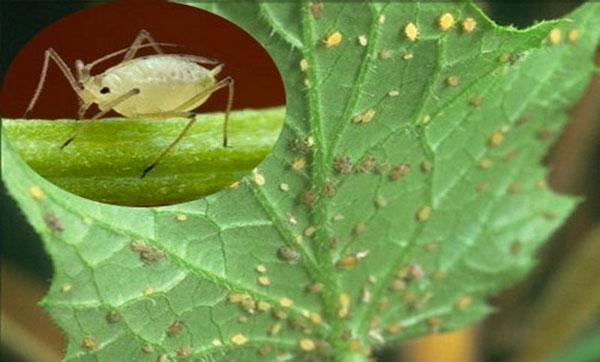 Тля на огурцах: как бороться народными средствами, чем обработать листья, в том числе снизу, из химических, биологических препаратов и особенности процесса в теплице