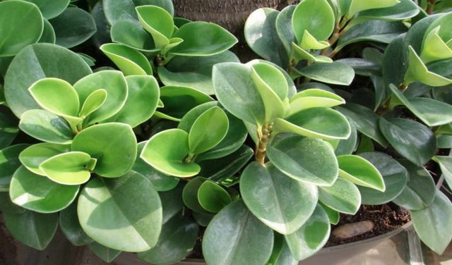Пеперомия (peperomia): что это такое - фото и описание комнатного растения, лечебные свойства, польза для дома, относится ли к суккулентным и где родина цветка?