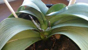 Листья орхидеи потеряли тургор и морщинятся: что это такое, отчего бывает и что делать, чтобы восстановить упругость и вернуть растение к жизни?