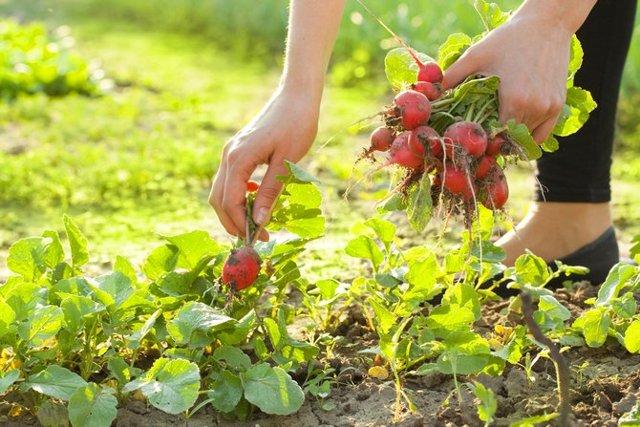 Как вырастить редьку в открытом грунте, в теплице и дома: секреты выращивания и правильного ухода для получения хорошего урожая
