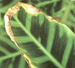 Петуния засыхает: что делать, если вянут нижние листья и цветы и как понять, почему с растением случилась такая проблема?